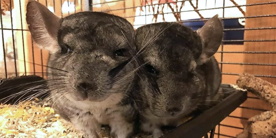 Chinchilla bei Zoo Burkart